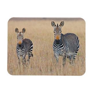 Plains zebra (Equus quagga) with foal in Rectangular Photo Magnet