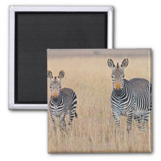 Plains zebra (Equus quagga) with foal in Square Magnet