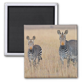 Plains zebra (Equus quagga) with foal Square Magnet