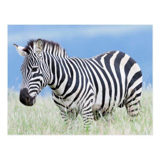 Plains Zebra Or Common Zebra (Equus Quagga) Postcard