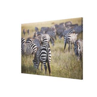 Plains Zebras on migration, Equus quagga, Canvas Print