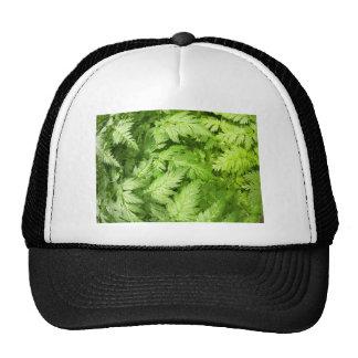 Plant Aegopodium Podagraria Cap