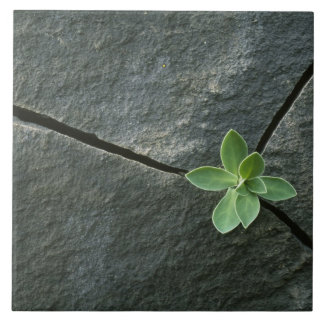 Plant Growing in Cracked Boulder Tile