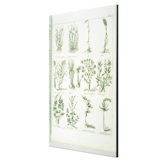 Plants from Culpeper's 'English Physician and Comp Canvas Print
