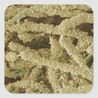 Plaque-forming bacteria, coloured scanning 2 square sticker