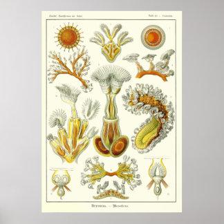 Plate 23 Bryozoa Posters