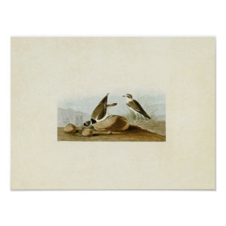 Plate 330 | Ring Plover | Birds of America Poster