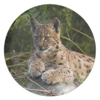 Plate - Carpathian lynx