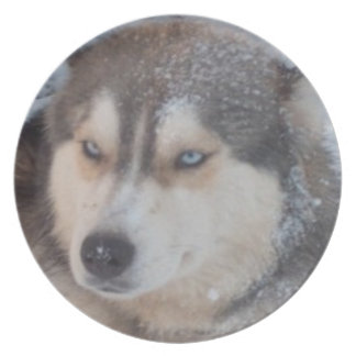 Plate Husky In The Snow Blue Eyes