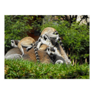 Playful baby Ring tailed Lemurs Poster