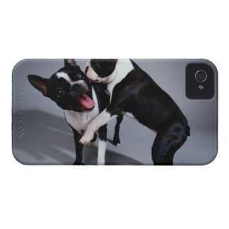 Playful Boston Terriers iPhone 4 Case