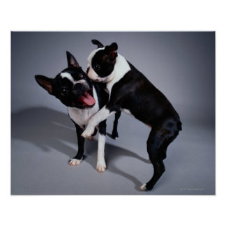 Playful Boston Terriers Poster
