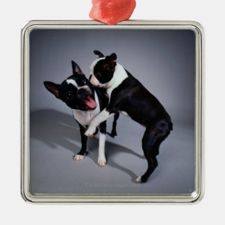 Playful Boston Terriers Silver-Colored Square Decoration