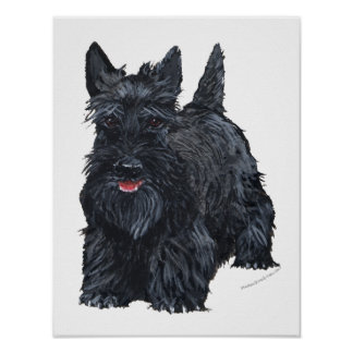 Playful Scottish Terrier Poster
