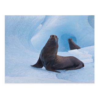 Playful stellar sea lions wrestle on iceberg postcard