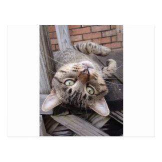 Playful Striped Feral Tabby Cat Postcard