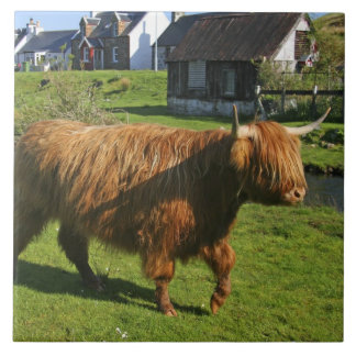 Plockton, Scotland. Hairy Coooo's (cows) doing Tile