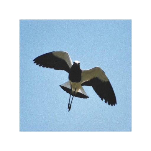 Plover bird in flight stretched canvas prints