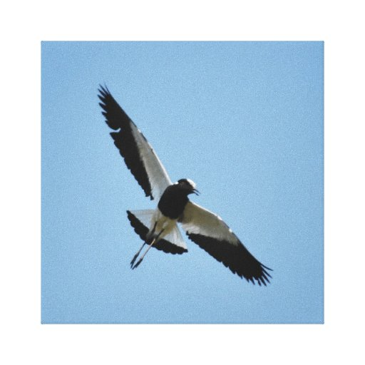 Plover bird in flight canvas print