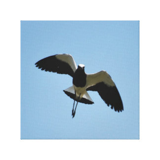 Plover bird in flight stretched canvas prints