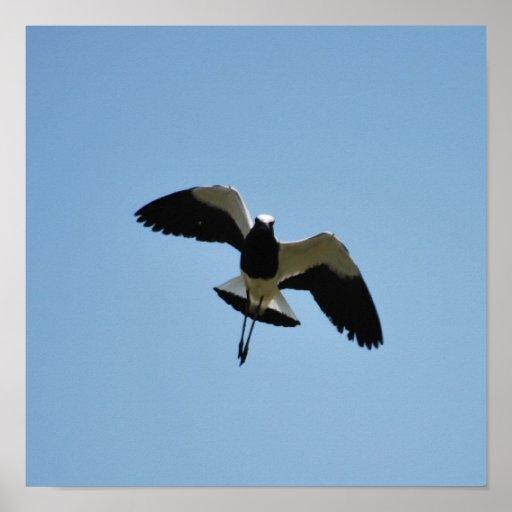 Plover bird in flight posters