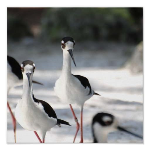 Plovers Poster