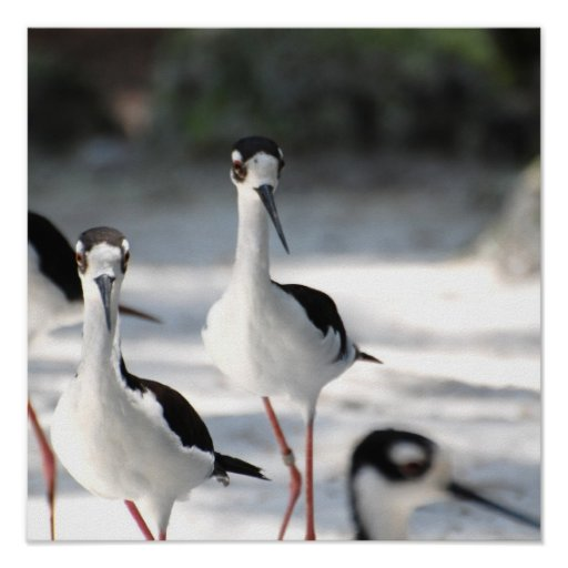 Plovers Posters