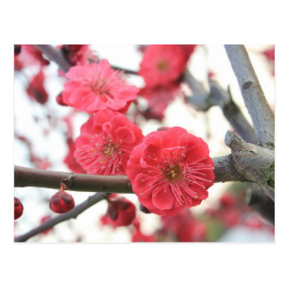 plum blossom spring pink flowers postcard