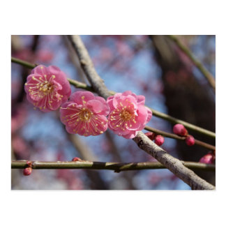 Plum blossoms postcard