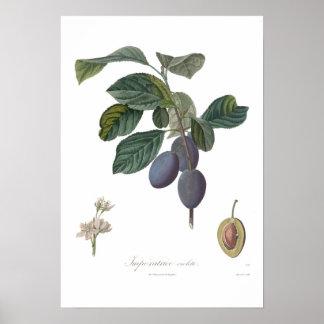 Plum,Imperatrice violette Poster
