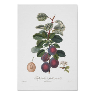 Plum,Imperiale a feuilles panachees Poster