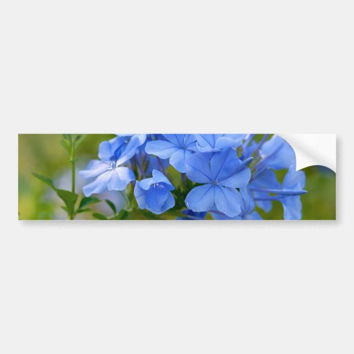 Plumbago - Blue Summer Flowers Bumper Stickers