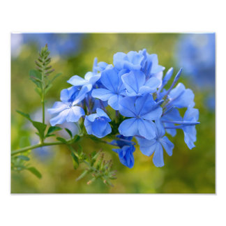 Plumbago - Blue Summer Flowers Floral Photography Photo Print