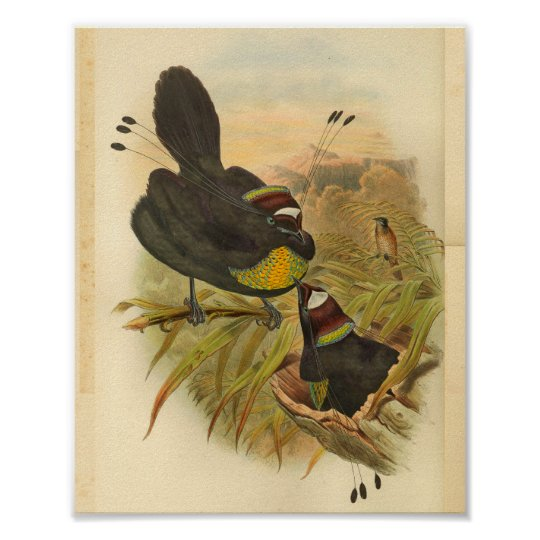 Plumed Birds of Paradise Vintage Print