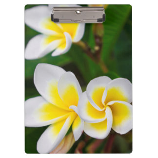 Plumeria flowers close-up, Hawaii Clipboard