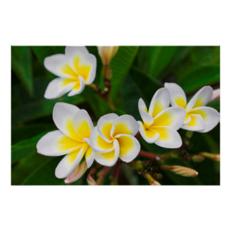 Plumeria flowers close-up, Hawaii Poster