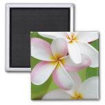 Plumeria Frangipani Hawaii Flower Customised Blank Square Magnet