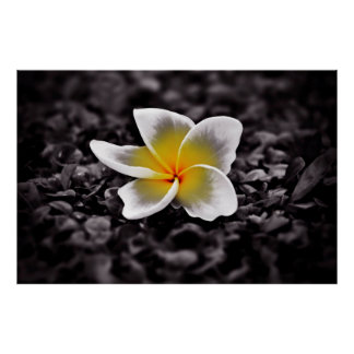 Plumeria Frangipani Hawaii Flower Poster