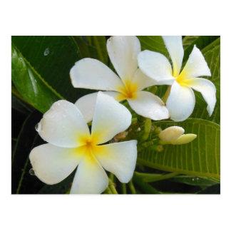 Plumeria Frangipani Post Cards