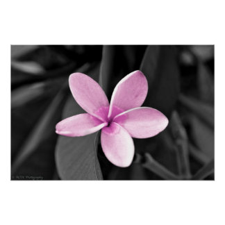Plumeria in Bloom Poster