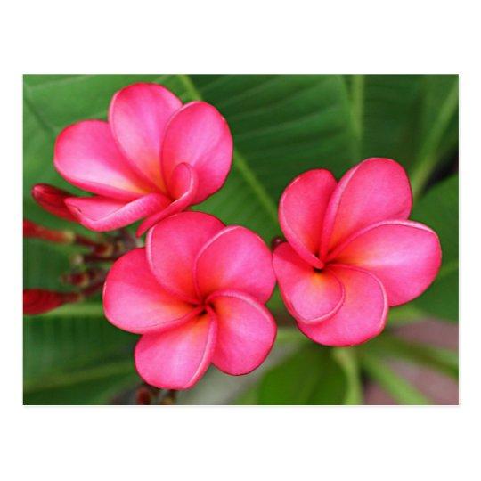 Plumeria - Miami Rose on Postcard