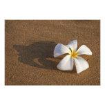 Plumeria on sandy beach, Maui, Hawaii, USA Art Photo