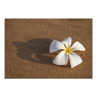 Plumeria on sandy beach, Maui, Hawaii, USA Photo Print