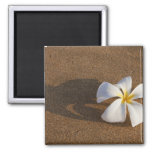 Plumeria on sandy beach, Maui, Hawaii, USA Square Magnet