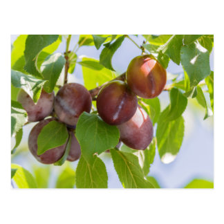 plums on tree postcard