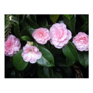 Pnk Camellias, photograph Postcard