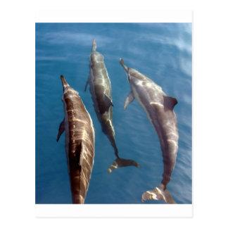 Pod of dolphins blue lagoon Tahiti Postcard