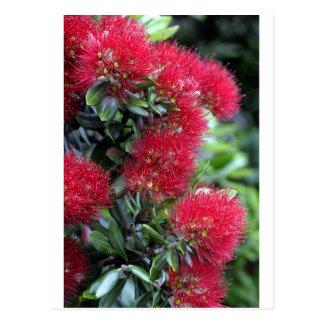 Pohutukawa tree flowering postcard