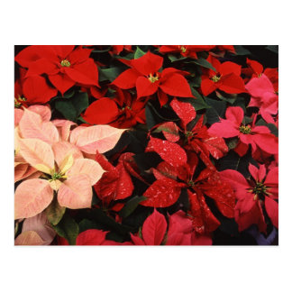 Poinsettia Christmas Holiday Flowers Post Cards