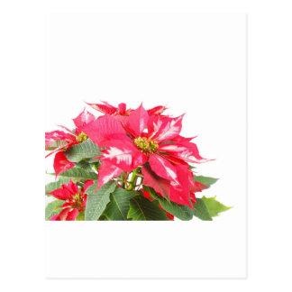 Poinsettia Christmas star Postcard